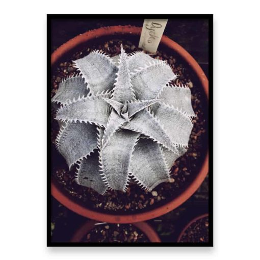 dykia succulent