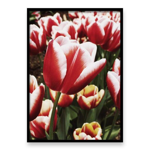 Red Tulip Wall Art Print